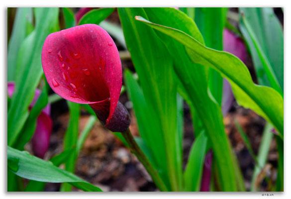 MO0037.Taipa.Blume im Garten