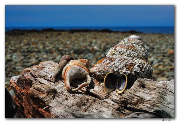 NZ0634.Patons Rock.Shells