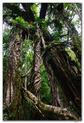 ID0189.Bedugul.Bot.Garten.Giant Fig Tree