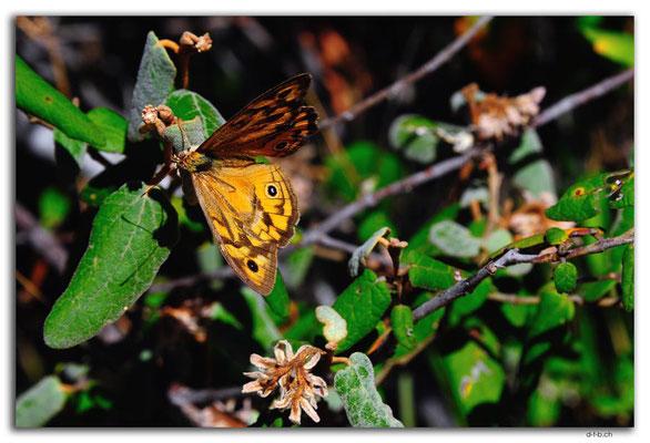 AU1025.Coffin Bay.Kellidie C.P.Schmetterling
