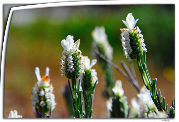 AU0629.Blume