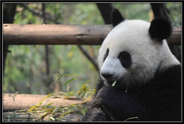 C0748Panda Zoo Chengdu