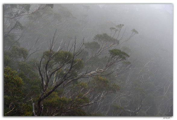 AU1343.Overland Track.Gumtree in the mist