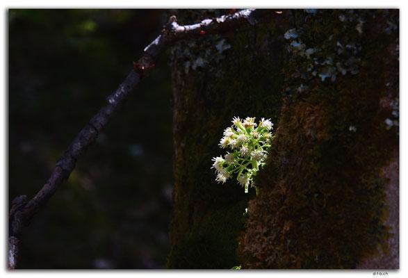 GW0091.Bergblume
