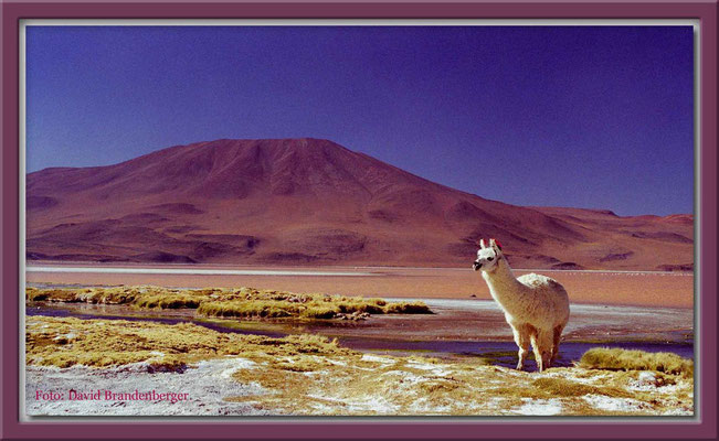 62.Alpaka, Altiplano,Bolivien