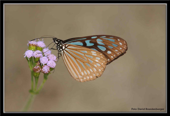 C2687 Hong Kong Victoria Peak Ceylon Blue Glossy Tiger