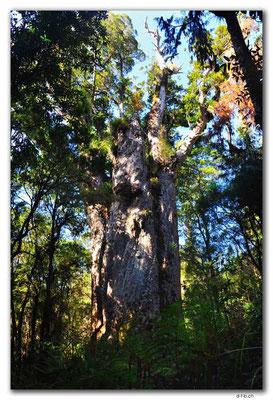 NZ0079.Te Matua Ngahere. 2nd largest Kauri