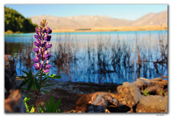 NZ0805.Lake Tekapo.Flower