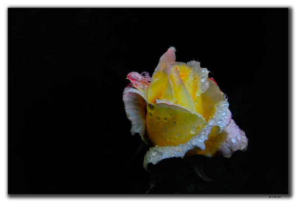 TR0974.Trabzon.Rose