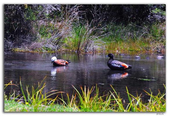 NZ0646.Nelson Lakes N.P.A pair of Paradise Shelducks