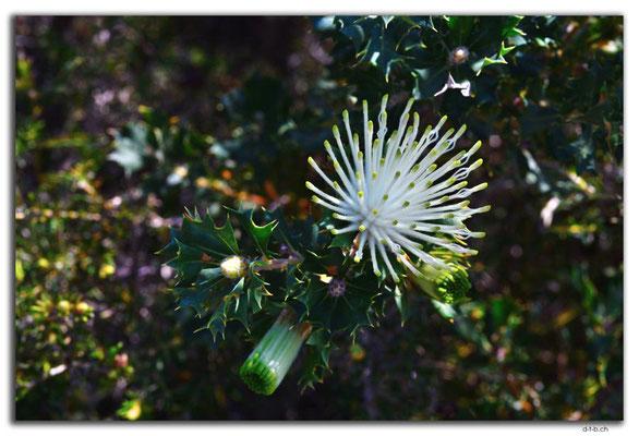 AU0611.Nilgen N.R.Melaleuca systena
