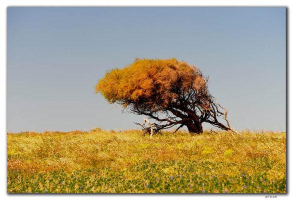 AU0514.Leaning Tree