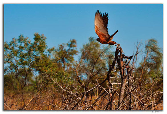 AU0269.Falke beim Abflug