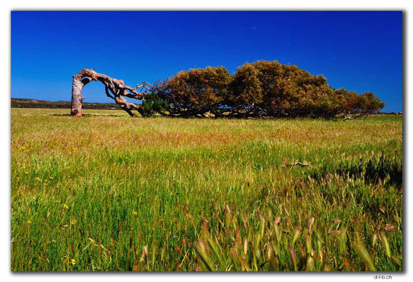 AU0510.Greenough.Leaning Tree