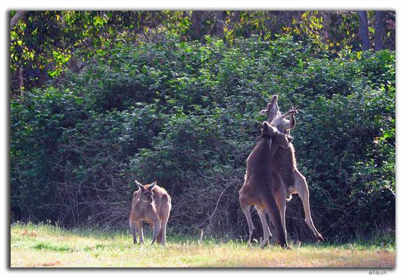 AU0769.Quinninup.Kangaroos