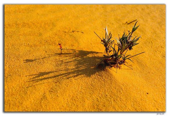 AU0603.Nambung N.P.Pinnacles.Pflanze