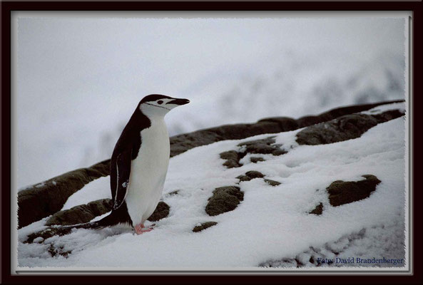 133.Zügelpinguin,Argentinian Islands,Antarktis