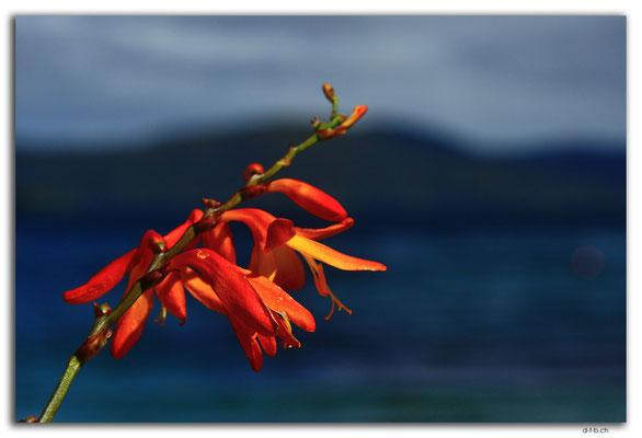 NZ0833.Stewart Island.Oban.Watercress Bay.Flower