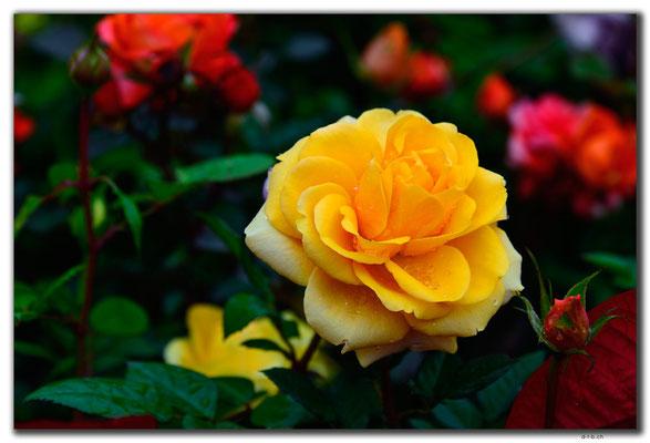 MO0035.Taipa.Rose im Garten