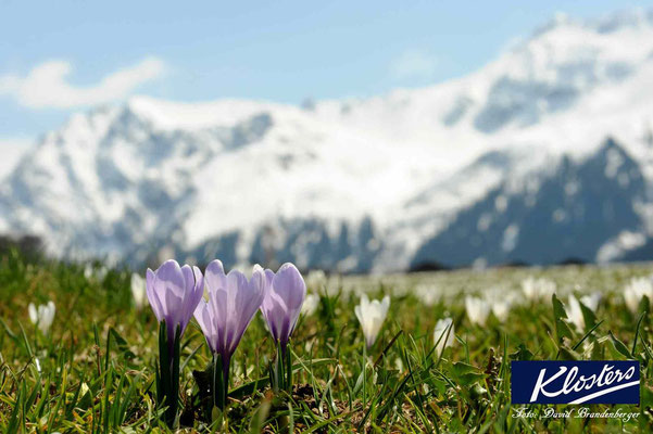 P0060.Krokus.Klosters.CH