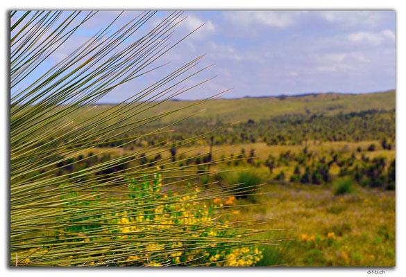 AU0606.Wanagarren N.R. Grass Tree