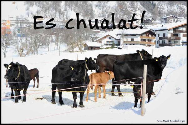 T026.Kühe,Klosters.CH