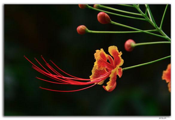 ID0139.Ubud.ARMA.Blume