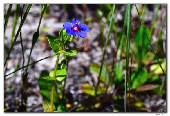 AU0546.Blume