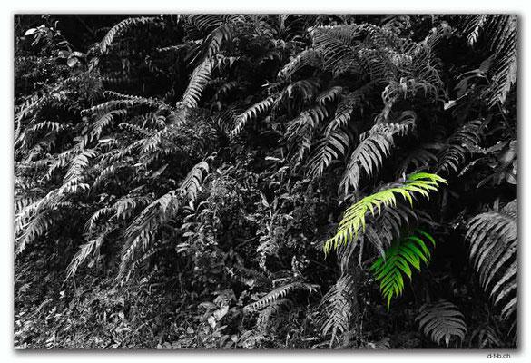 NZ0554.Fern beside the Cobb Dam Road