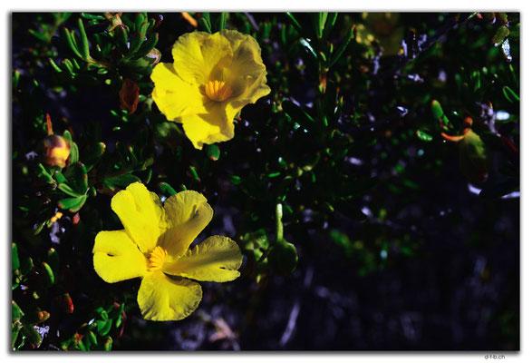 AU0525.Golden Buttercup