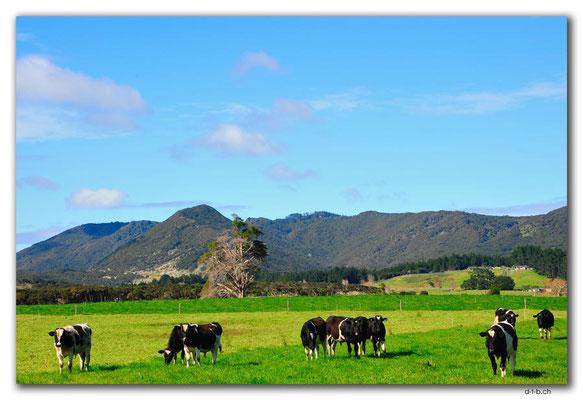 NZ0100.Ahipara.Kühe