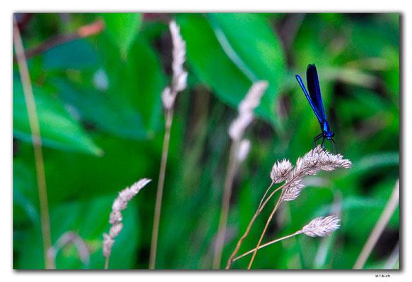 PL219.Biebrza NP. Libelle