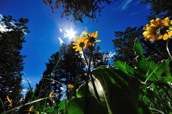 CA0231 Osoyoos Sonnenblume