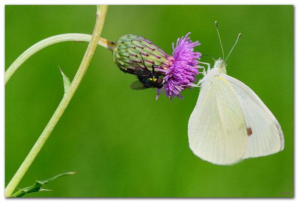 DE128.Jüchen.Schmetterling auf Ackerkratzdistel