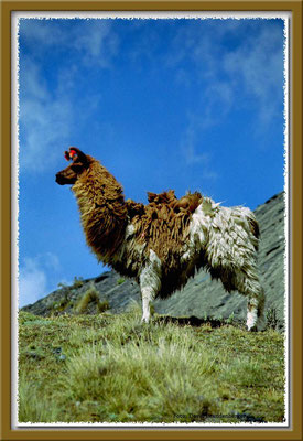 12.Lama, La Cumbre,Bolivien