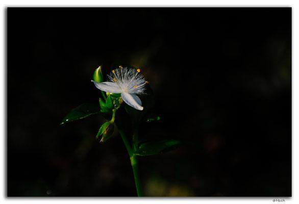 AU1484.Cann River Rainforest Walk.Blume