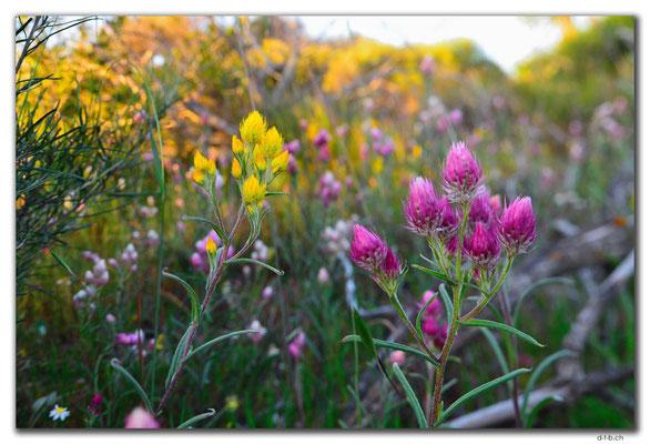 AU0509.Geraldton.Wildblume