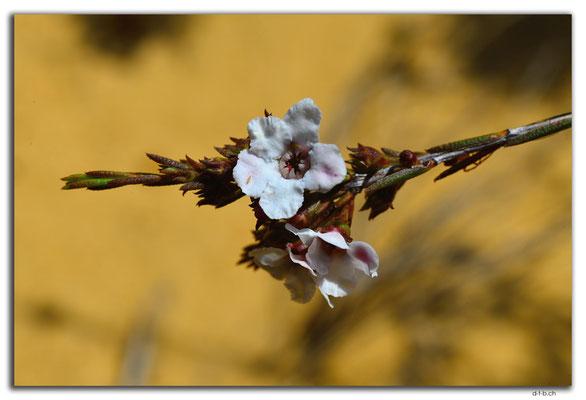 AU0839.Neds Corner Rd.Blume