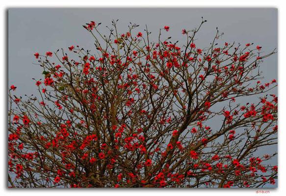 AU1529.Shoalhaven River.Tree