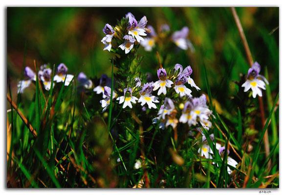 CH1031.Kleine Wiesenblume