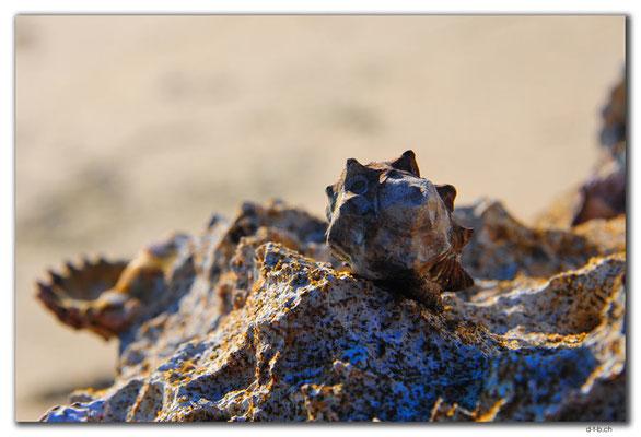 AU0375.Coral Bay.Muschel