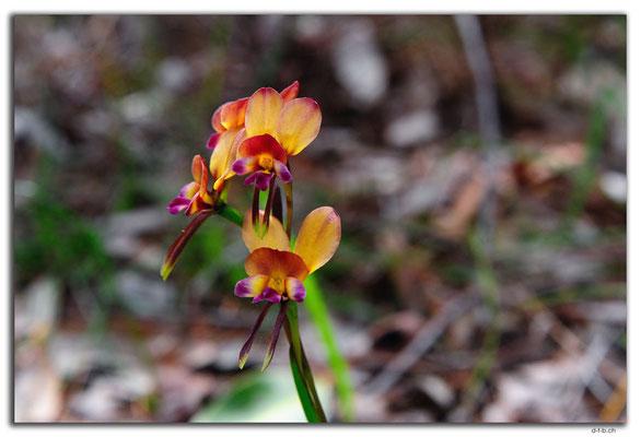 AU0676.Greenmount N.P.Orchid