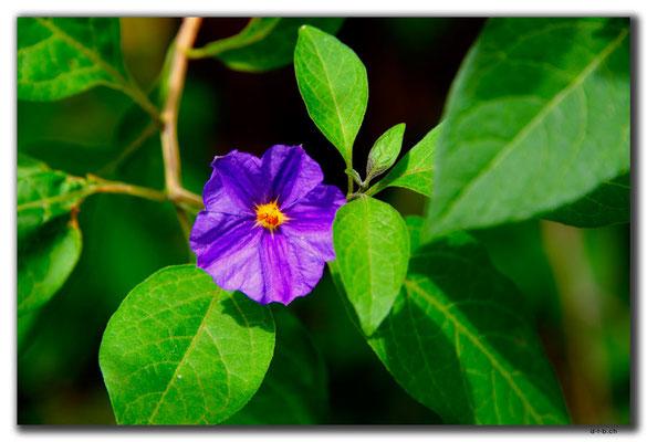 TR0524.Lefkosa.Blume