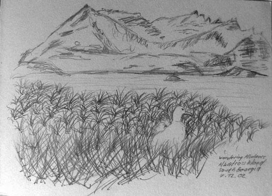 013.Skizze, Wandering Albatross, Albatross Island /South Georgia