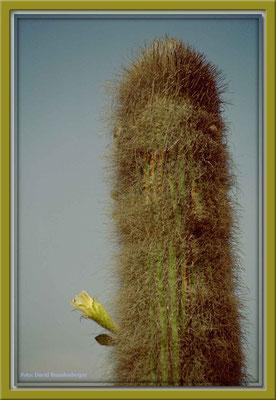 156.Kaktus,Iquique,Chile