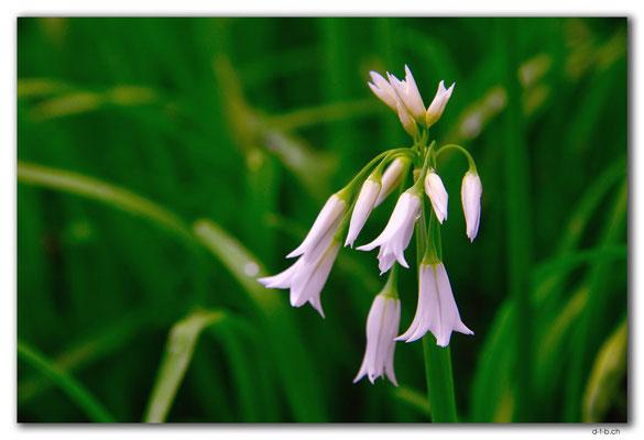 NZ0185.Whangarei.Blume