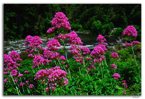 NZ0555.Flowers at Takaka River