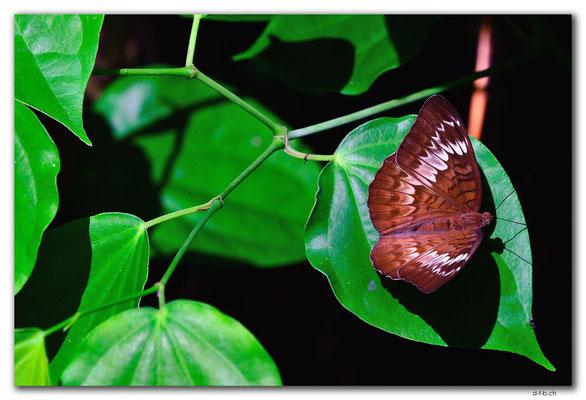 ID0080.Ubud.Schmetterling