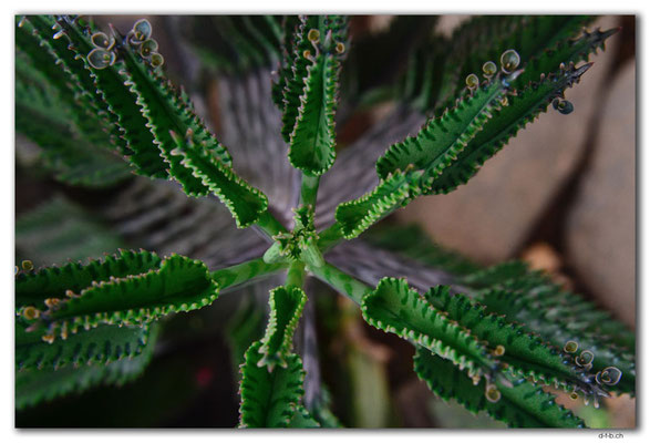 ID0182.Bedugul.Bot.Garten.Kaktus