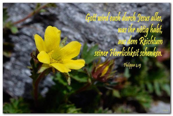 S0211Schwefel-Anemone.Klosters.CH. Philipper 4.19